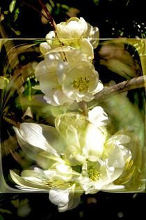 In the square - white quince blossom by Chris Berger