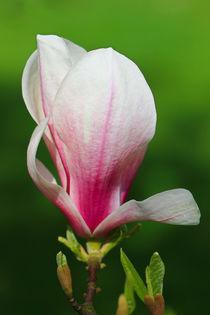 Eine Magnolienblüte von Bernhard Kaiser