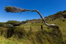 Windgewachsener Baum von globusbummler