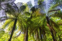 Baumfarne, Neuseeland by globusbummler