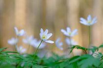 'The windflower dance' by elio-photoart