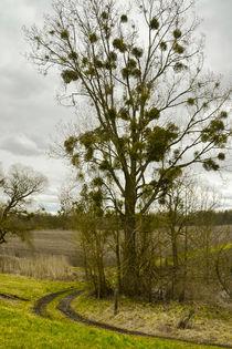 Europareservat Unterer Inn - Baum mit Misteln by Chris Berger