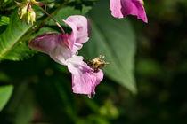 Eine kleine Biene besucht eine große Blüte by Ronald Nickel