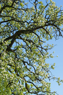 Alte Birne in voller Blüte by Stephan Gehrlein