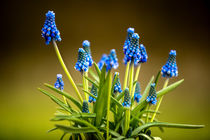 Muscari by photoart-hartmann