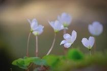 'Clover Blossoms' by elio-photoart