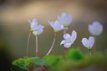 Clover Blossoms von elio-photoart