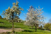 Blühende Obstbäume von Ronald Nickel