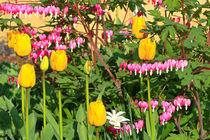 Zwischen Tulpen und Narzissen von Bernhard Kaiser
