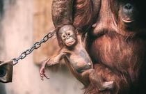 Orang Utan Baby by Stefan Mosert
