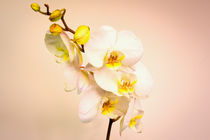 Moth Orchid by Jeremy Sage