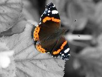 Red Admiral Butterfly von David Bishop