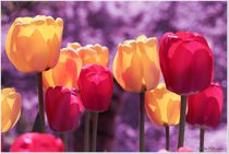 Dream Tulips by Sandra  Vollmann