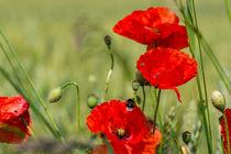 Im Anflug auf die Blüten des Klatschmohn by Ronald Nickel