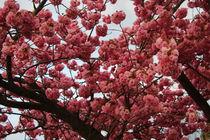 Blühender japanischer Zierkirschbaum by sunflowers