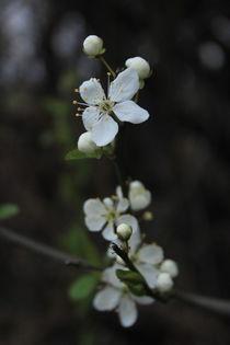 Frühlingsbote by Lisa Peschel