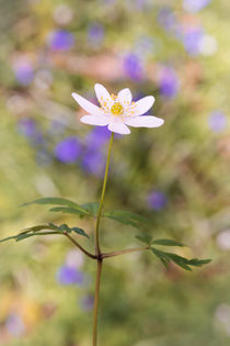 Woodland Anemone by Jeremy Sage