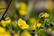 Die Blüte des Frühlings-Fingerkrauts von Ronald Nickel