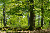 Mächtige Bäume im lichten Frühlings-Wald by Ronald Nickel