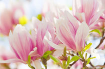 Leuchtende Magnolien by AD DESIGN Photo + PhotoArt