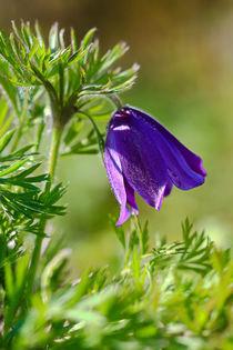 Eine der letzten Blüten von Bernhard Kaiser