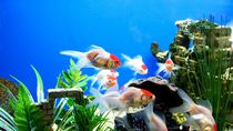 Ornamental Fish by Francis Kiarie