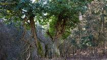 Efeu rankt an einem Baum von Ronald Nickel