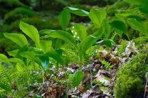 Maiglöckchen blühen im Wald by Ronald Nickel