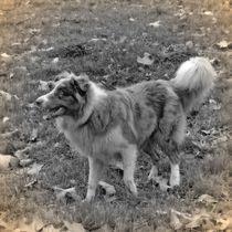 Nostalgie Australian Shepherd by kattobello