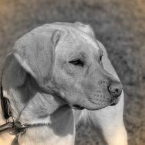 Nostalgie Labrador by kattobello