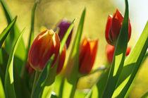Tulpen mit malerischem Bokeh by H. Ullrich