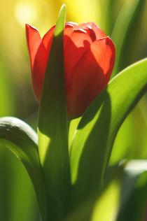rote Tulpe mit malerischem Bokeh by H. Ullrich