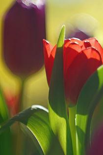 Tulpen mit malerischem Bokeh von H. Ullrich