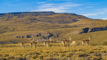 Group of Vicunas at Patagonia Landscape, Argentina by Daniel Ferreira Leites Ciccarino