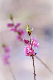 Seidelbast - Daphne by elio-photoart