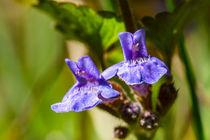 Die blauen Blüten des Gundermann by Ronald Nickel