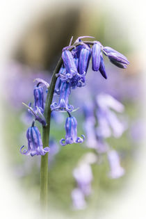 The English Bluebell by Jeremy Sage
