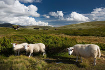 Sheep in landscape of Norway by Bastian Linder