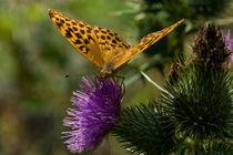 Ein Kaisermantel Weibchen auf einer Distel von Ronald Nickel