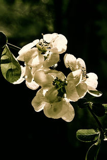 Quince flowers in the dark von Chris Berger