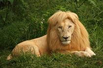 Portrait of a lion von Bastian Linder
