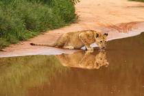 Baby lion drinking at water hole von Bastian Linder