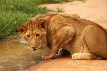 Lion drinking at water hole von Bastian Linder
