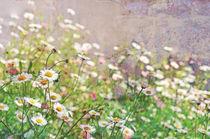 Daisy Wall von Karen Black