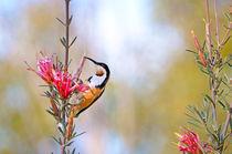 Nectar from the Mountain Devil by Karen Black