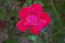 Rote rose von Edmond Marinkovic