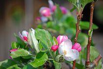 Blütenzauber... 5 von loewenherz-artwork