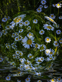 Flower ball - daisies in Water by Chris Berger