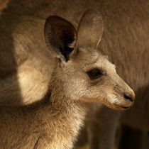 Little Kangaroo by Bastian Linder