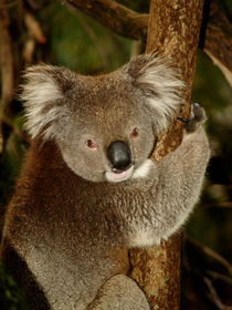 Koala sitting in an Eucalyptus Tree, Australia, Close Up von Bastian Linder
